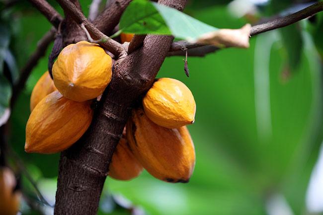 Côte d'Ivoire : Réinvestir autrement dans le cacao et le palmier à huile