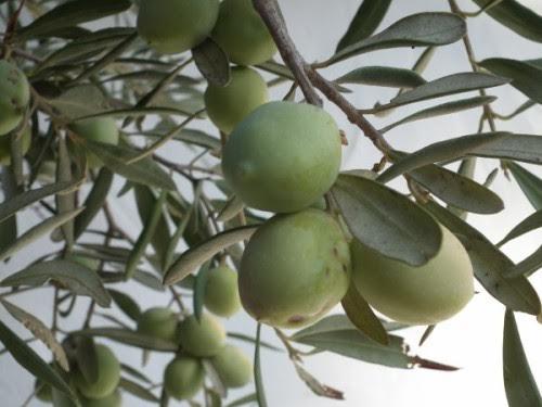 Huile d'olive : Une bonne récolte pour la Tunisie