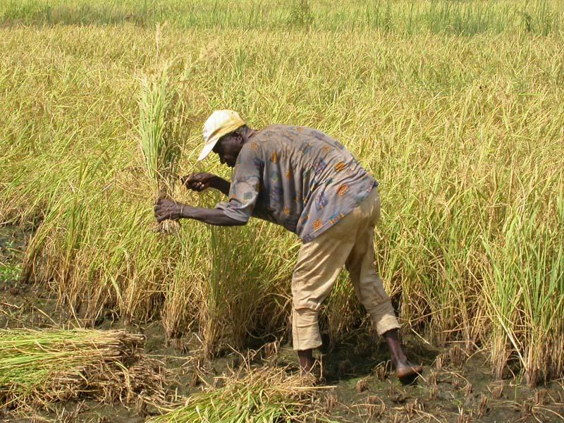 Burkina Faso : Plaidoyer pour le protectionnisme du marché local du riz