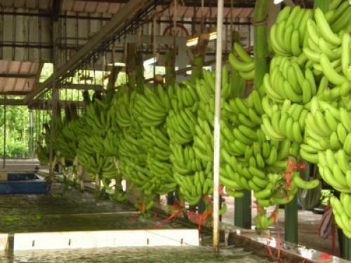 Prêt de 25 milliards FCFA de la BAD à une société camerounaise des plantations de banane