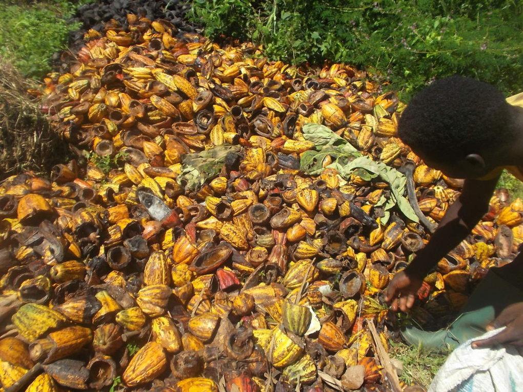 La Côte d'Ivoire: De l'énergie à base de déchets de cacao