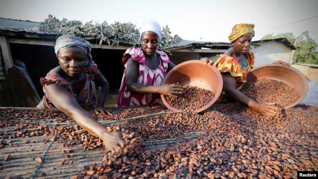 La Côte d'Ivoire augmente le prix bord champ du cacao
