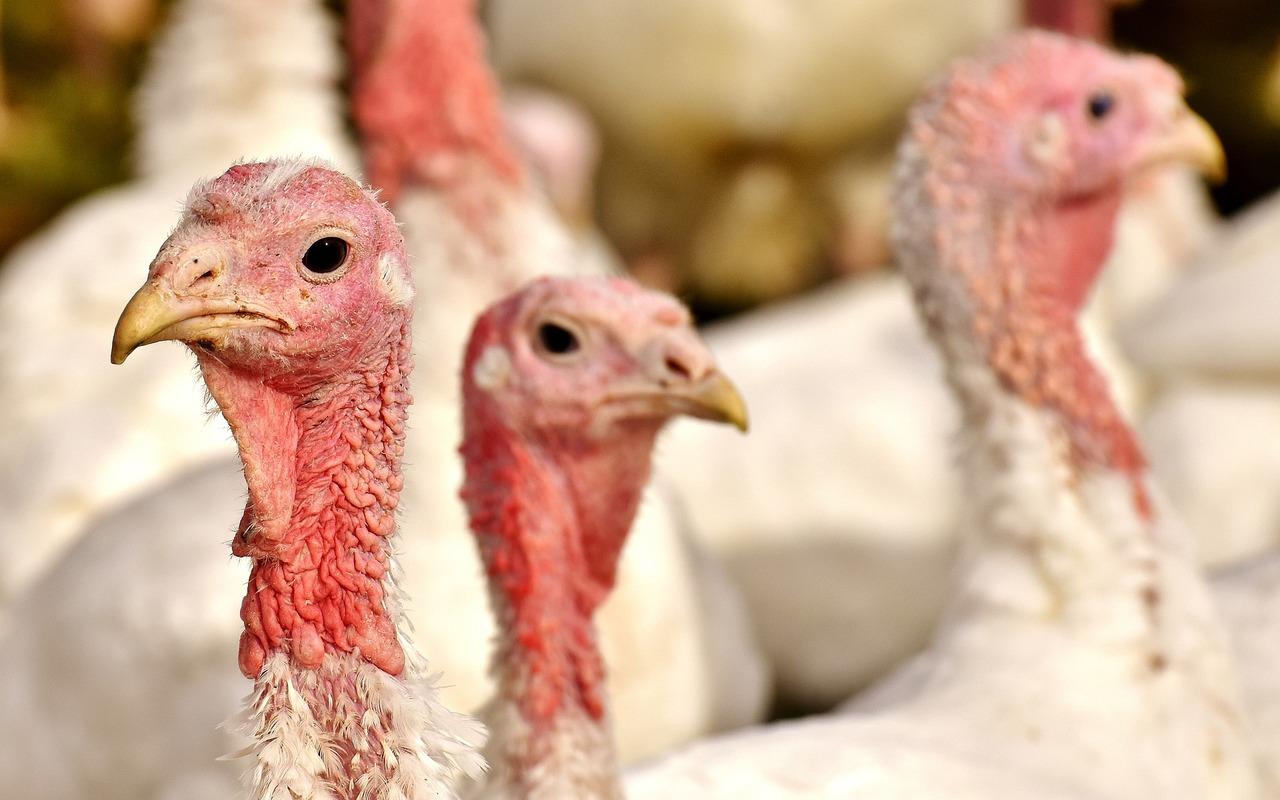 Le Ghanasuspend ses importations de volailles de 5 pays européens