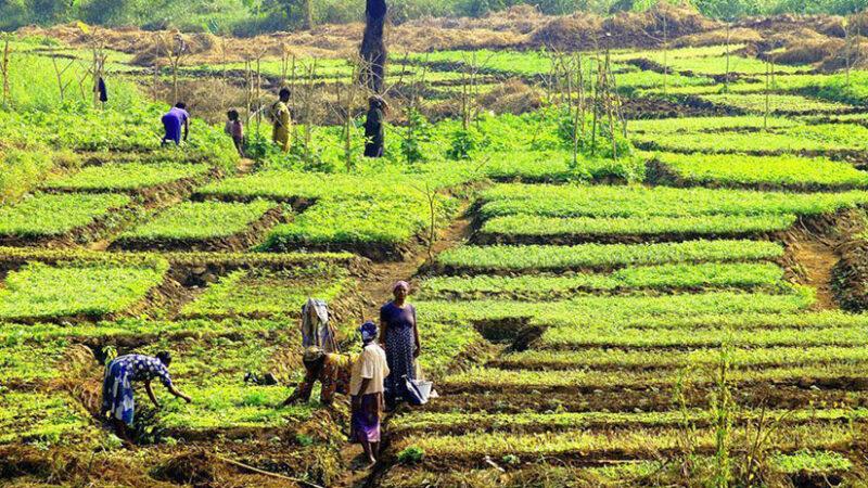 Afrique: La BM débourse 60 M$ pour le développement des technologies agricoles climato-intelligentes