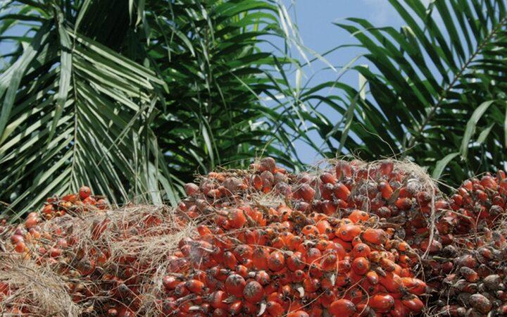 Des lauriers pour l'industrie de l'huile de palme