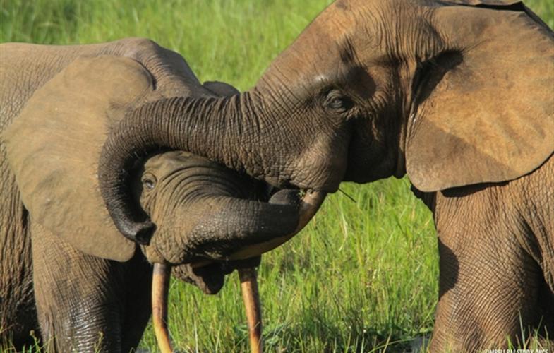 Les dégâts causés par les éléphants au Gabonaccentuent la pauvreté