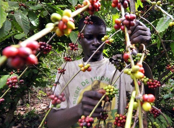 La production de café en Côte d'Ivoirea chuté de 62% en dix ans