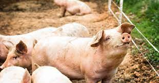 La reprise des activités porcines au Cameroun entraîne la baisse des prix à Yaoundé