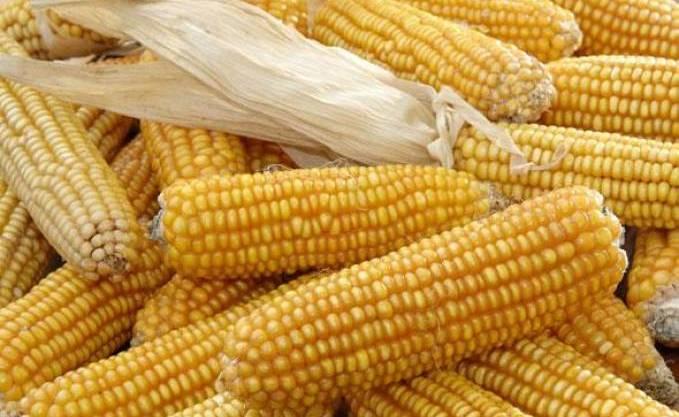Algérie : culture du maïs