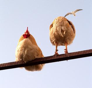 Le marché du poulet marocain en grippe